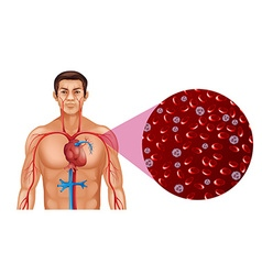 Blood circulation in human vector image