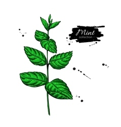 Mint drawing Isolated plant and leaves vector image vector image