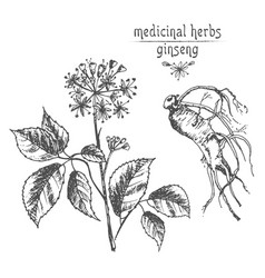 Realistic botanical ink sketch of ginseng root vector