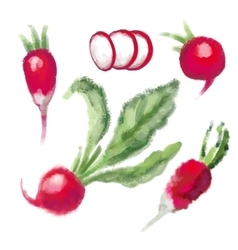 SET Radish with leaf vector image