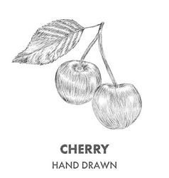Sketch of cherry Hand drawn Fruit collection vector image