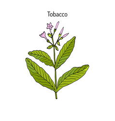 Tobacco plant hand drawn vector