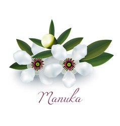 Manuka flowers and leaves in realistic style vector