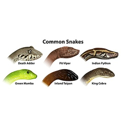 Common snakes vector