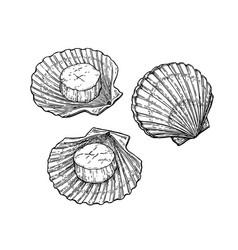 scallops ink sketch vector image