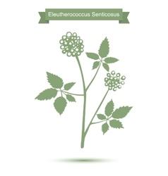 Eleutherococcus senticosus isolated plant on white vector image