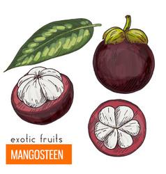mangosteen color vector image