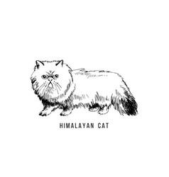 Hand drawn himalayan cat vector