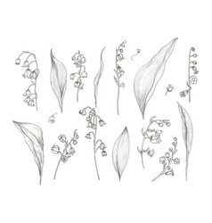 Gorgeous drawing of lily of the valley parts vector