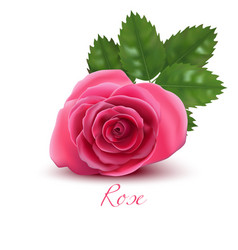rose flower and leaf in realistic style vector image