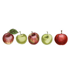 Set of red and green apples isolated on white vector