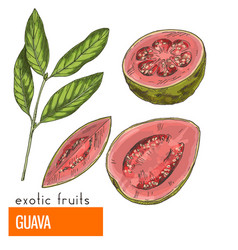 Guava color vector