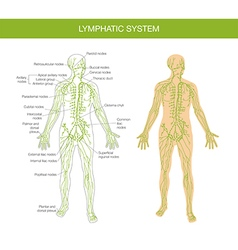 Medical description of the lymphatic system vector