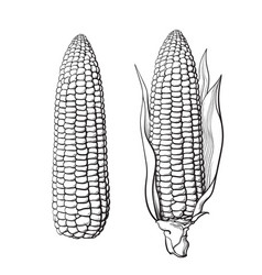sketch two corn cobs vector image