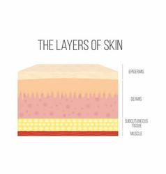 Skin layers healthy normal human vector