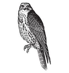 Sultan falcon vintage vector