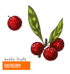 bayberry color vector image