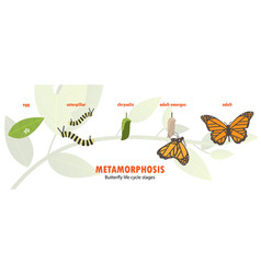 butterfly life cycle metamorphosis vector image