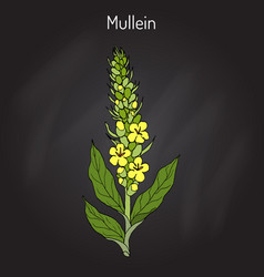 Great mullein verbascum thapsus medicinal plant vector