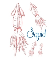 Sketches of greater hooked squid for nature design vector image