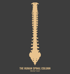 human spine column vector image