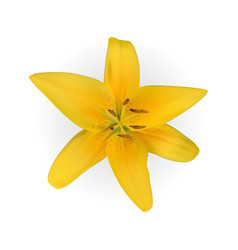 Colorful yellow naturalistic lily flower on white vector