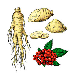 ginseng drawing medical plant sketch vector image