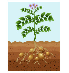 Potatoes planting in ground vector