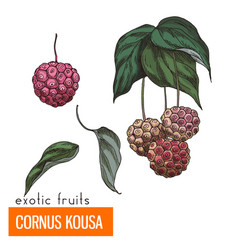 cornus kousa color vector image
