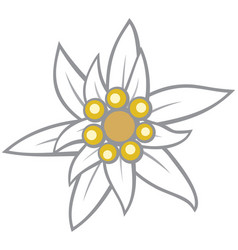 edelweiss flower vector image