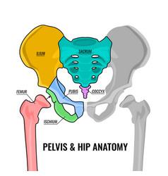 Pelvis anatomy scheme vector