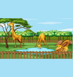 scene with giraffes in zoo vector image