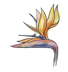 Strelitzia reginae flower isolated vector