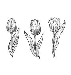 tulip flower sketch engraving vector image