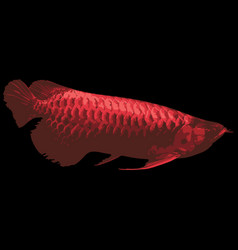 red fish on black background vector image