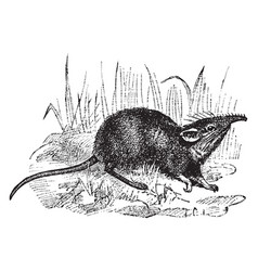 Elephant shrew vintage vector