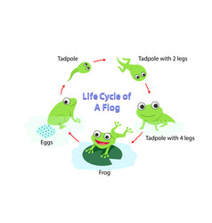 Infographic life cycle a frog in flat vector
