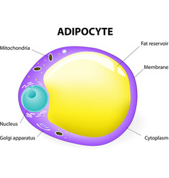 fat cell vector image