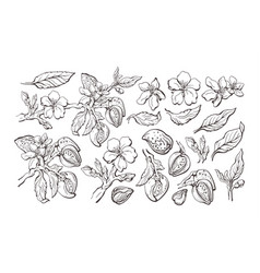 Almond set natural nut graphic sketch vector