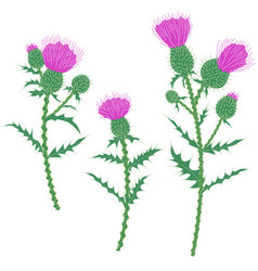 purple thistle flowers isolated on white vector image
