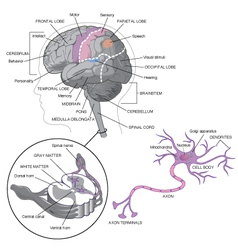 Brain detail with neurons vector image vector image