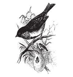 Swallow sunbird vintage vector