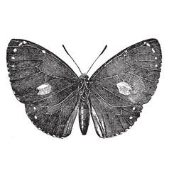 Morphidae vintage vector