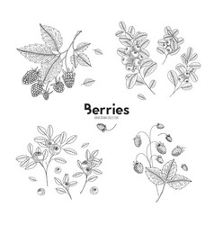 hand drawn set of berries bluberry vector image