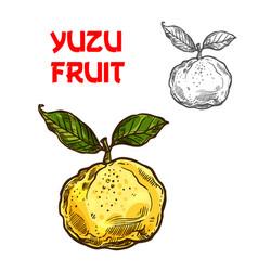 Yuzu sketch citrus fruit cut icon vector