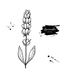 Lavender drawing set isolated wild flower vector