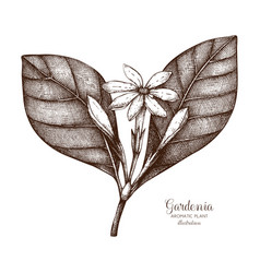 Tahitian gardenia sketch vector