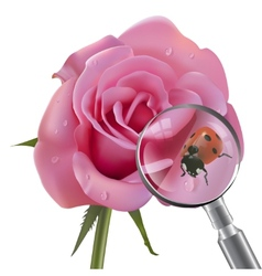 Ladybug is under the magnifying glass on rose vector image