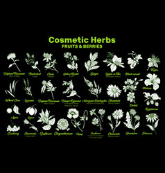 cosmetic herbs fruits and berries vector image
