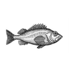 ink sketch of rockfish vector image